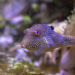 Pufferfish Toxin to Replace Opioids?