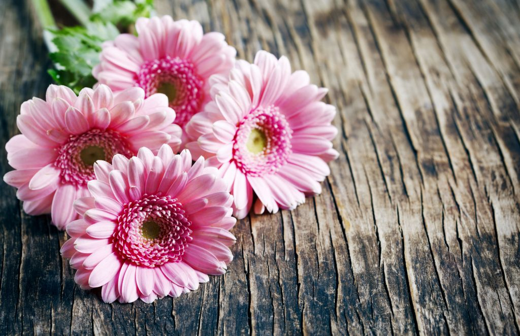 55373628 - beautiful pink gerbera flowers