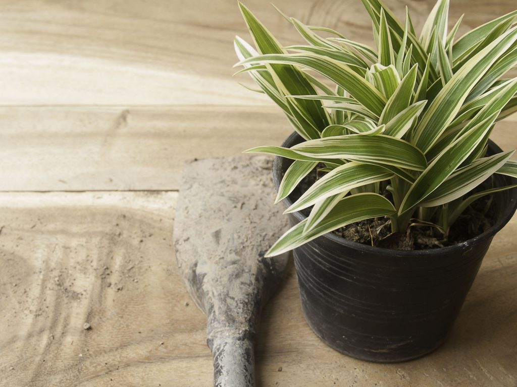 58226694 - black plastic pot of chlorophytum comosum with spade on wood background
