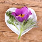 Pulsatilla: A Wonderful Remedy for the Sensitive Soul