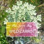 Herb of the Day: Wild Carrot