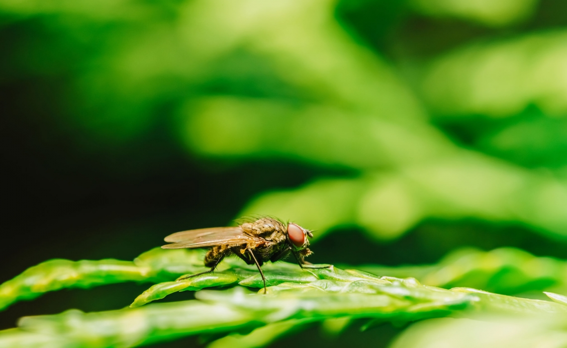 Researchers Get Flies Drunk to Study Process of Intoxication