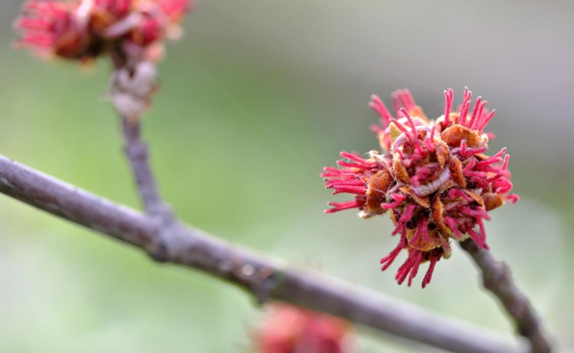 Alder Bark for Anti-Aging and Antioxidants