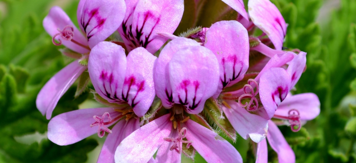 Rose Geranium Essential Oil as Source of Anti-inflammatory Drugs