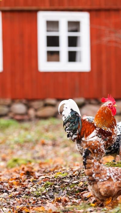 Probiotic Use in Livestock to Prevent Foodborne Illness