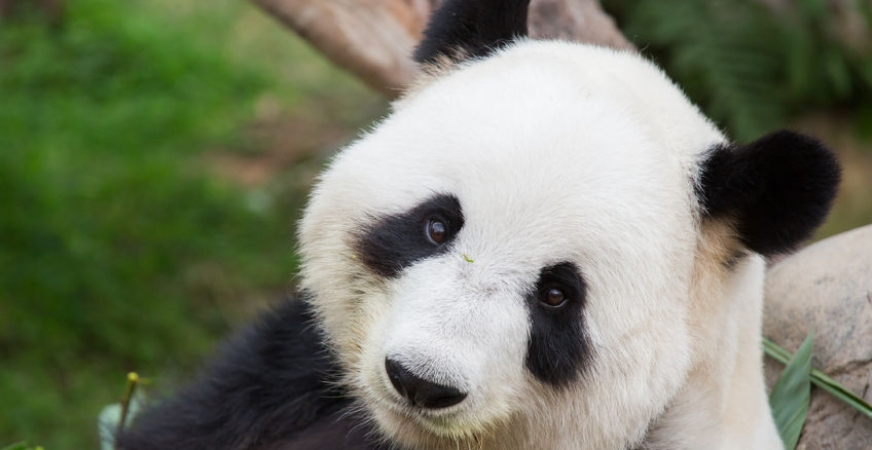 Toxoplasmosis, the Universal Disease, Now Found Also in Giant Panda