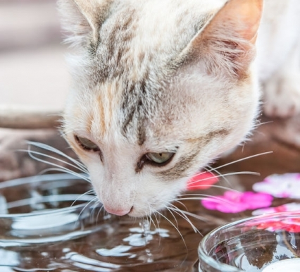 3 Ways to Get Your Cat to Drink More Water
