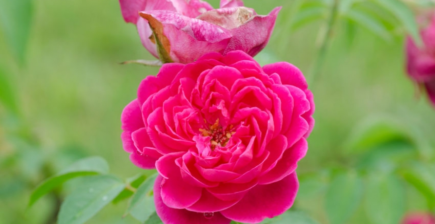 Essence of Damask Rose helps cardiac patients sleep