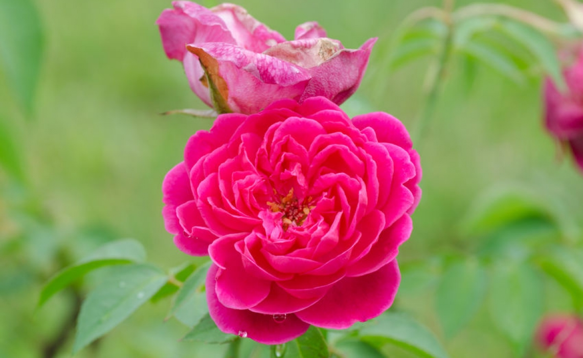 Essence of Damask Rose helps cardiac patients sleep