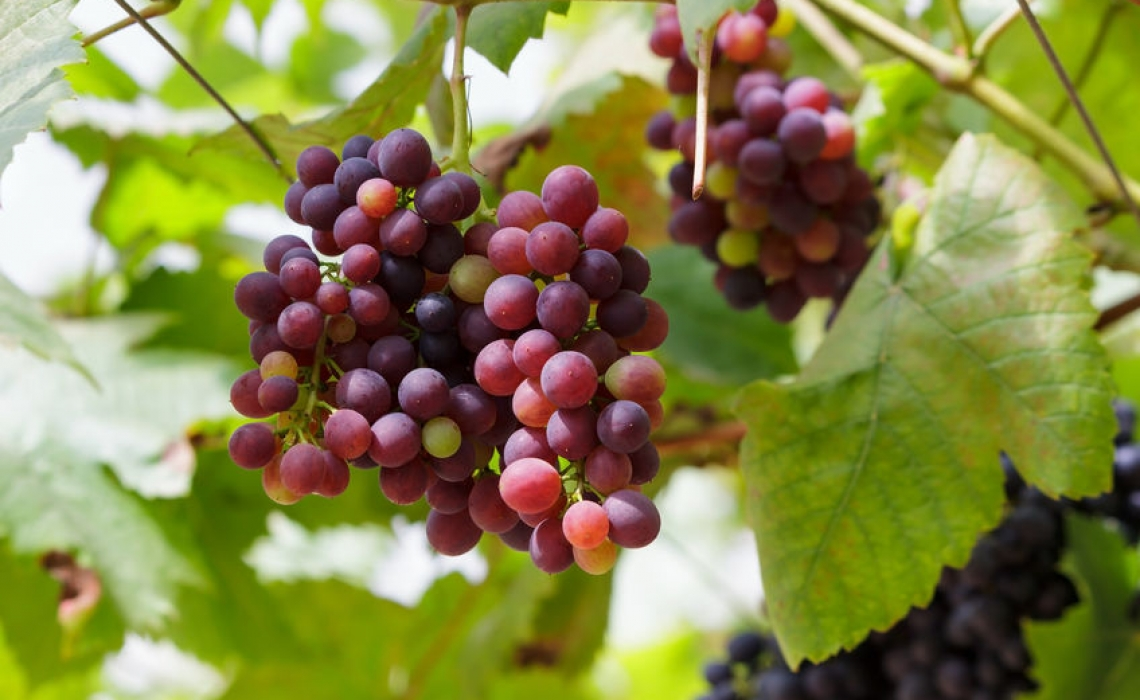 Edible Oils to be Made out of Grapes