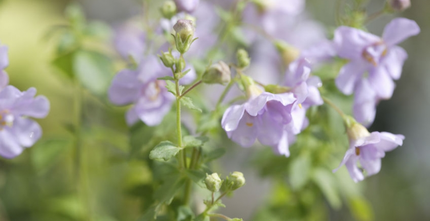 An Herb for Your Nerves: Bacopa