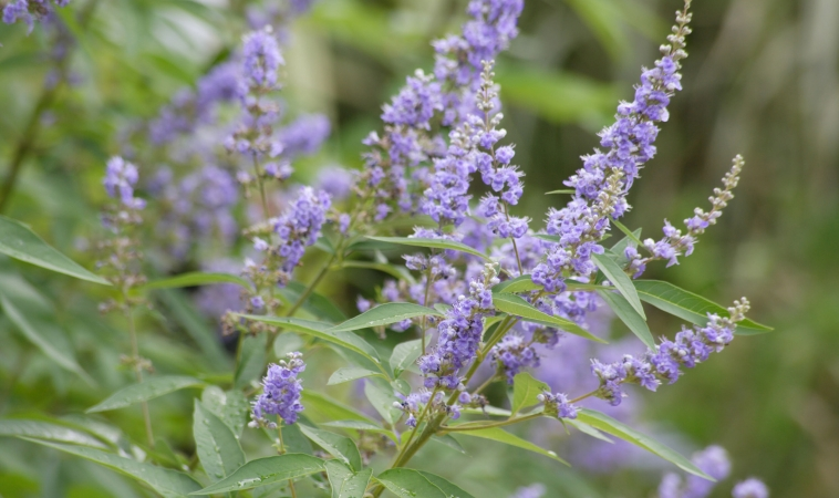 Is There an Herbal Remedy for PMS?