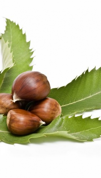 Chestnut Leaves Fight Staph Bacteria