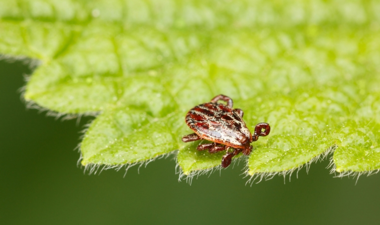 Meat Allergy Triggered by Tick Bites