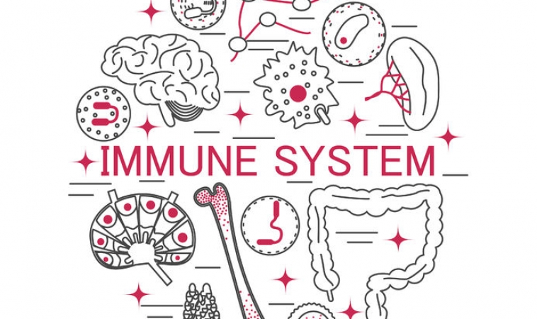 Neurolymphatic System Discovered Linking Brain and Immune System