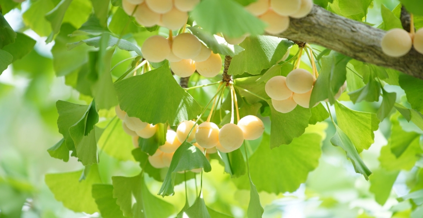 Ginkgo Seed Extract for Bacterial Skin Infections