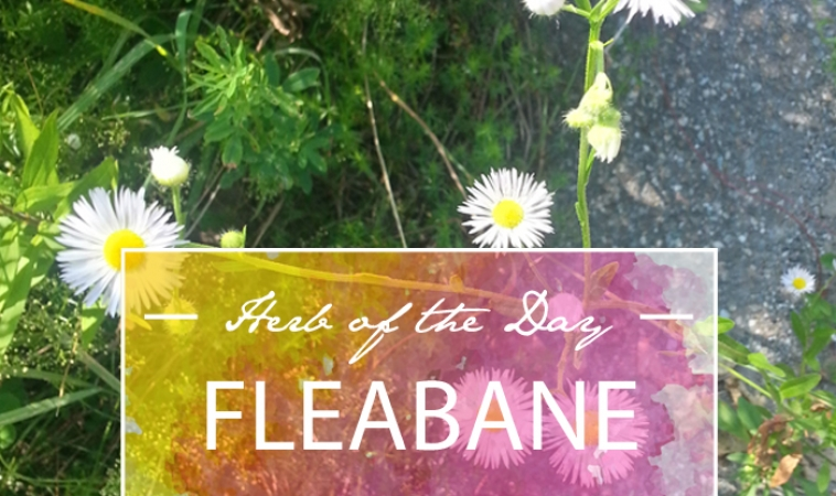 Herb of the Day: Eastern Daisy Fleabane