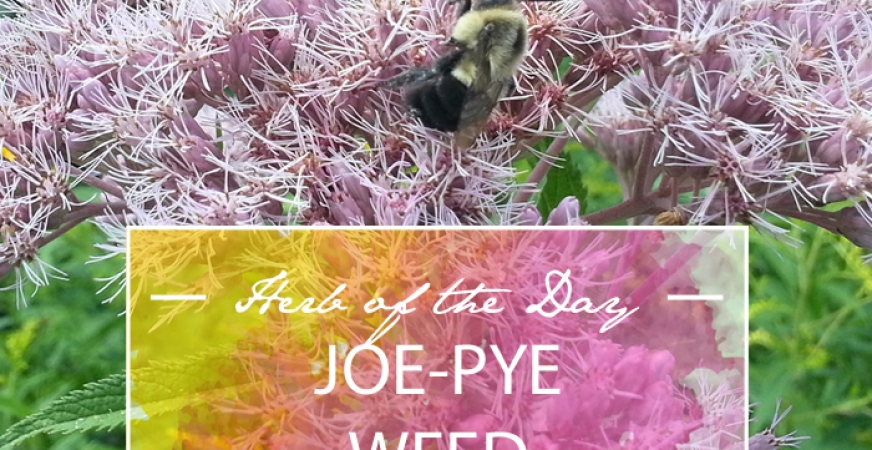 Herb of the Day: Joe-Pye Weed
