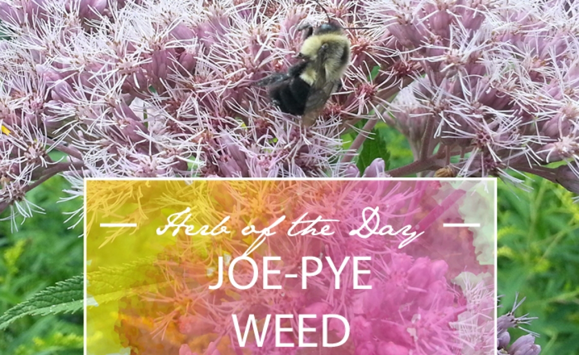 Herb of the Day: Joe-Pye Weed