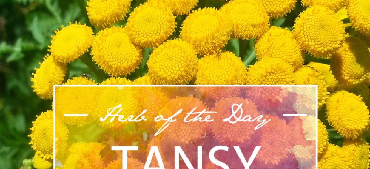 Herb of the Day: Tansy