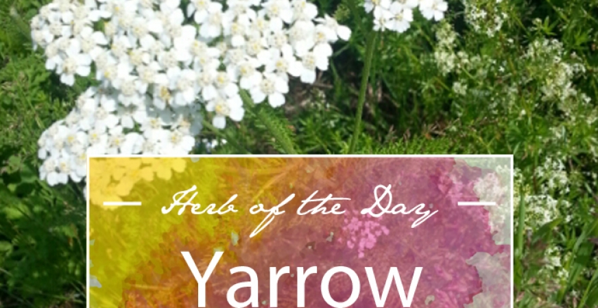 Herb of the Day: Yarrow