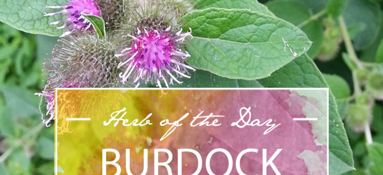 Herb of the Day: Burdock