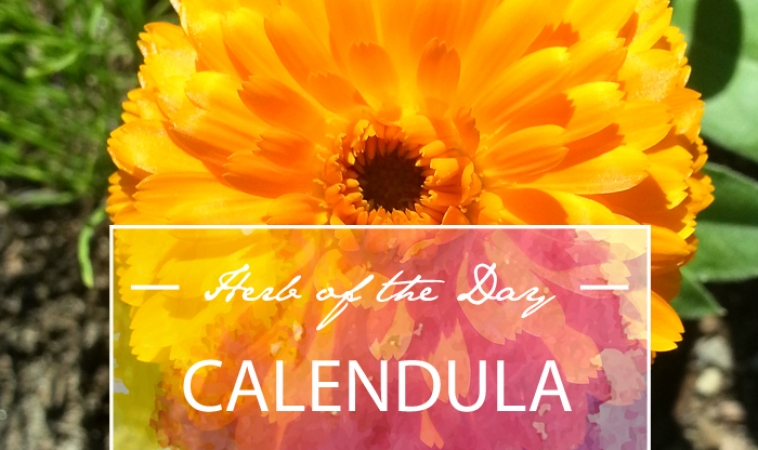 Herb of the Day: Calendula