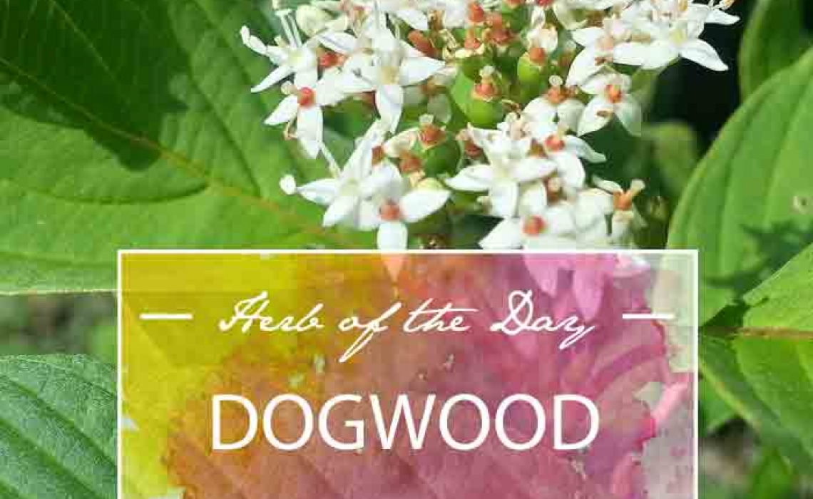 Herb of the Day: Dogwood