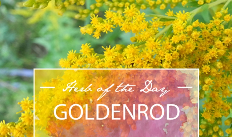 Herb of the Day: Goldenrod