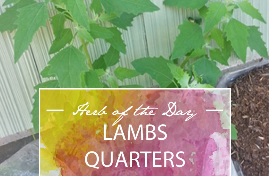 Herb of the Day: Lambs Quarters