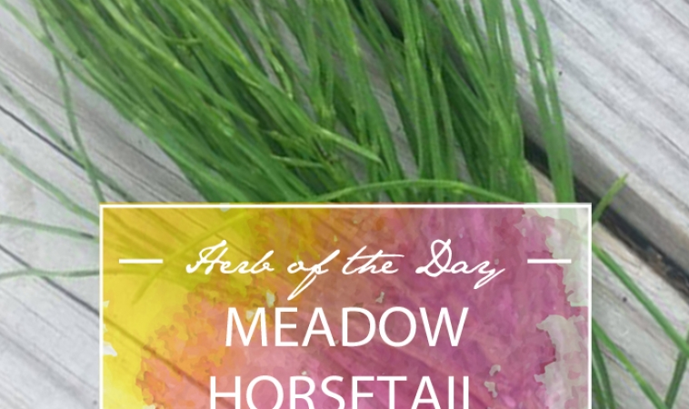 Herb of the Day: Meadow Horsetail