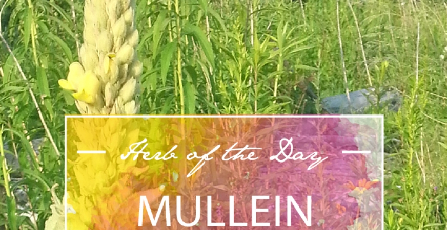 Herb of the Day: Mullein