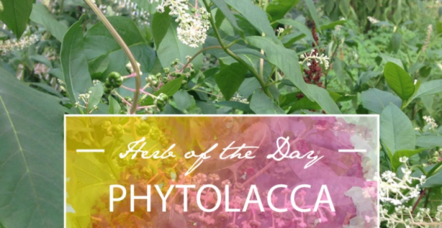 Herb of the Day: Phytolacca
