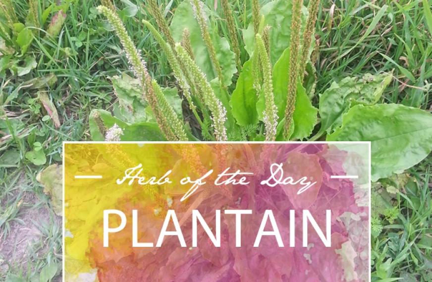 Herb of the Day: Plantain