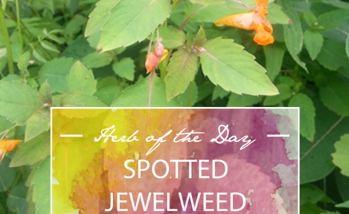 Herb of the Day: Spotted Jewelweed