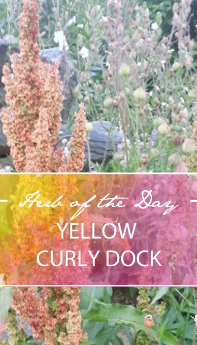 Herb of the Day: Yellow Curly Dock