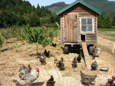ruby & amber chickens and fruit trees