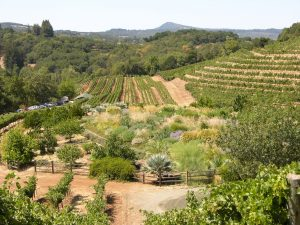 view from hill - grape rows, insectory - Benziger